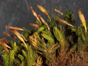 Orthotrichum_coulteri