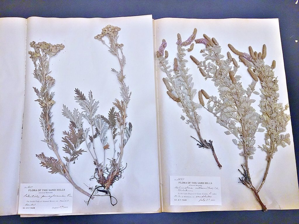 Specimens of Potentilla pennsylvanica and Kuhnistera villosa (=Dalea villosa) collected by Tulen in 1893